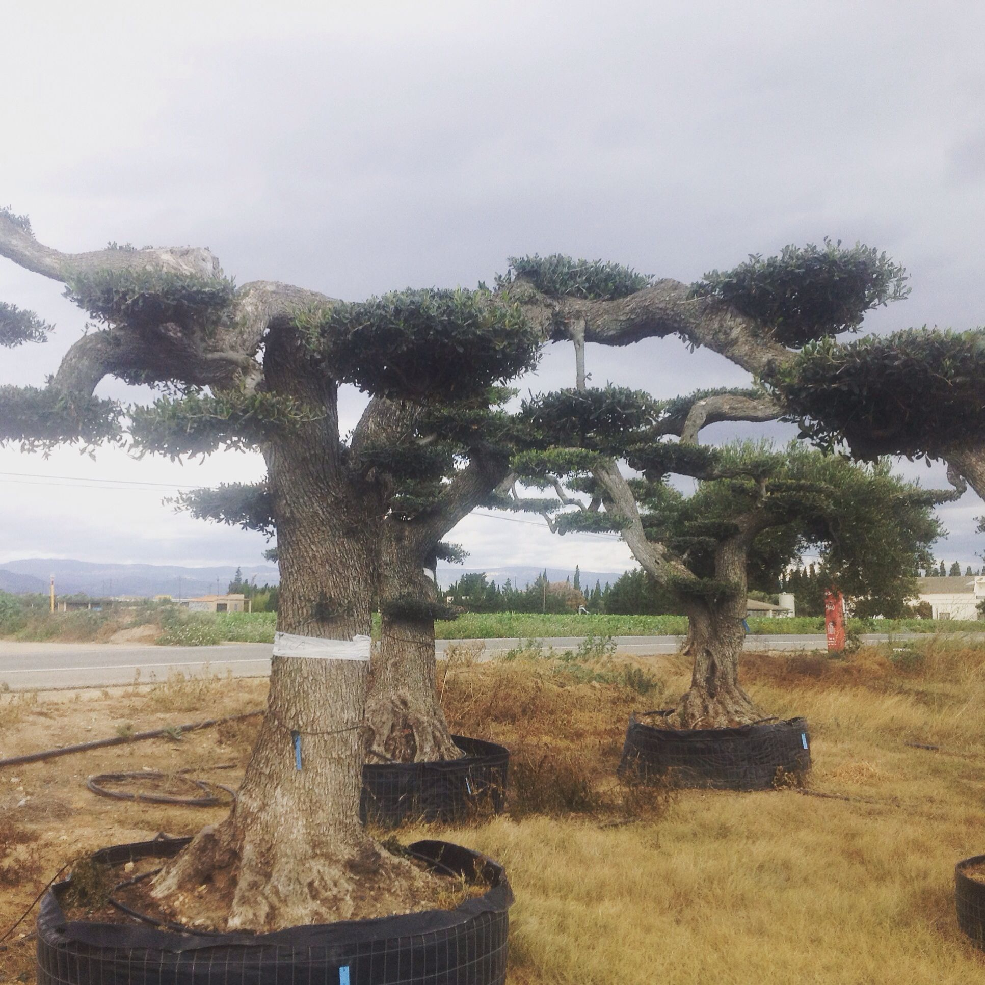 Cloud Pruned Olive Tree For Free Delivery In Mainland U K