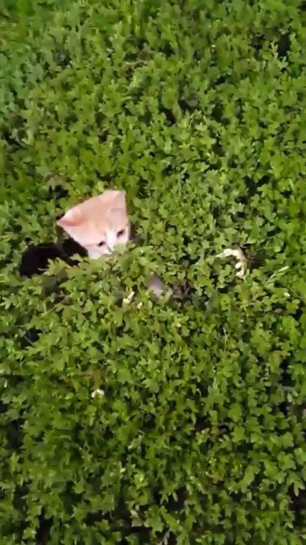 Dangerous Kitten Bushes