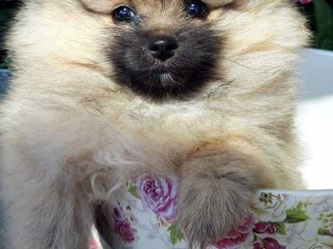 Pomeranian Dogs for sale in the UK Pets4Homes