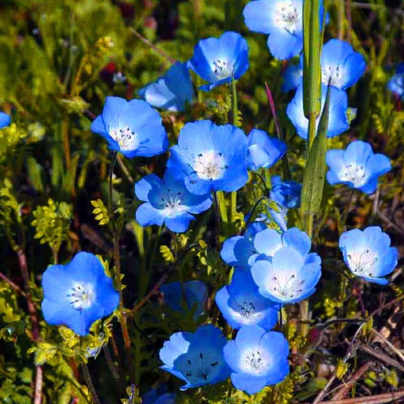 Baby blue eyes pack annual flower seeds flower seeds