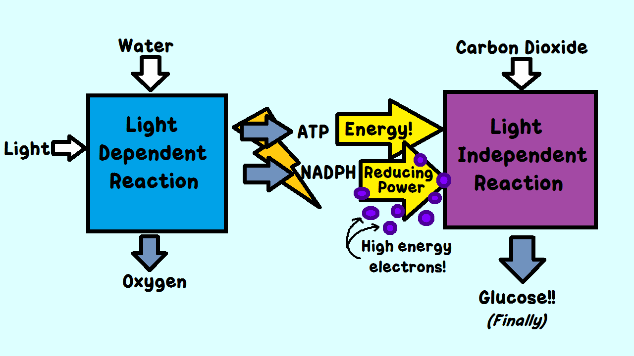 dependent independent light lab Ib biology higher level lab report  water and undergo the process of the light-dependent reaction,  control variables independent variables dependent variables.