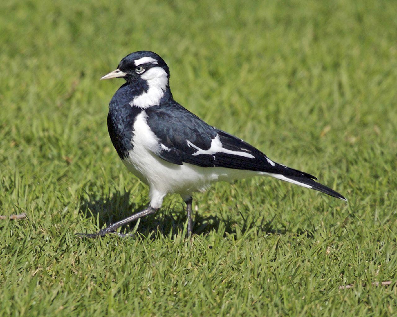 magpie lark grallina cyanoleuca birds black and white