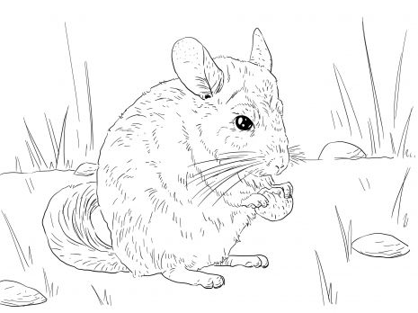 Long Tailed Chinchilla Coloring Page From Chinchillas Category. Select From  28368 Printable Crafts Of Cartoons, Nature, Animals, Bible And Many More.