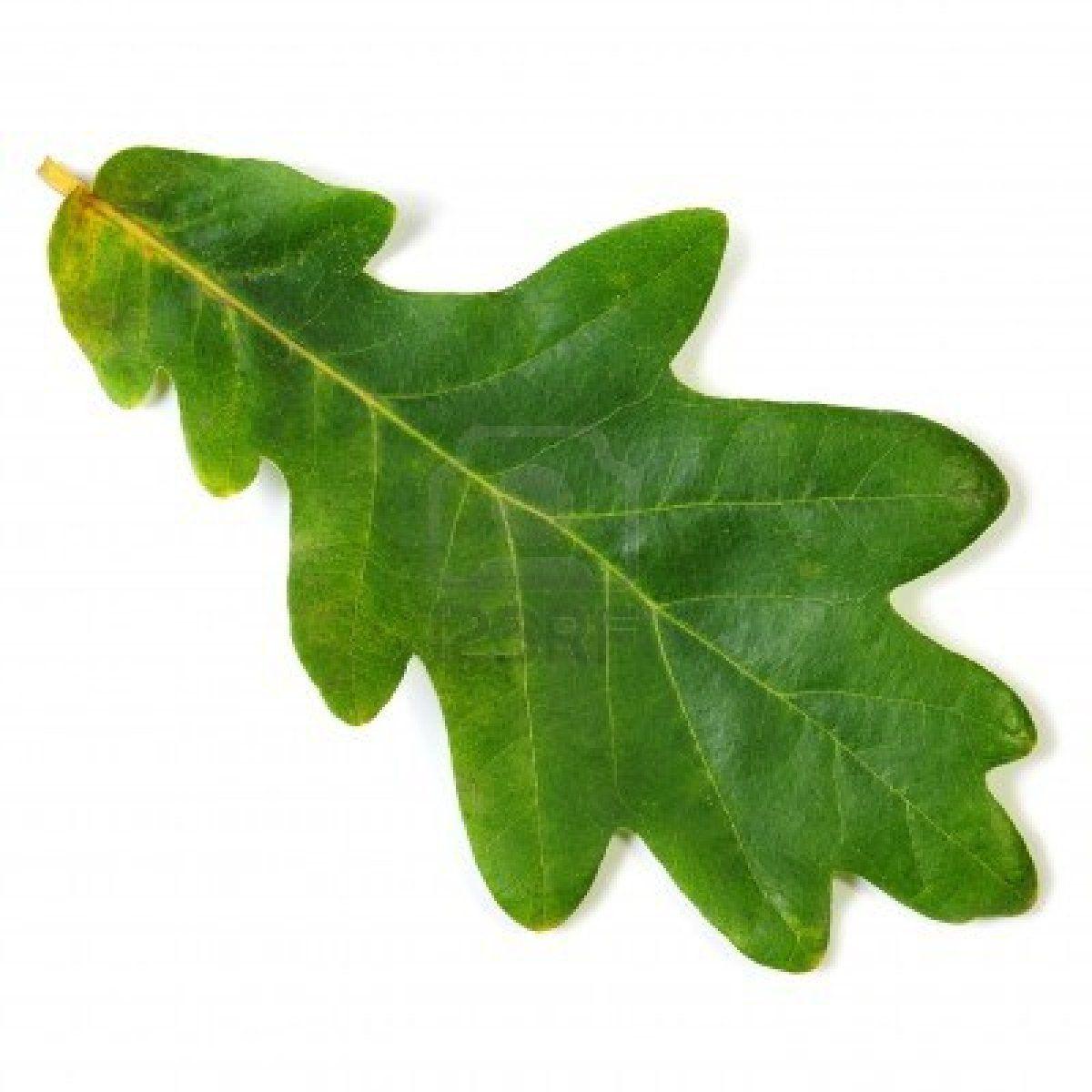 oak leaf | Soul | Plant leaves, Tree leaves und Oak leaves