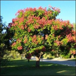 Golden Rain Tree After The Yellow Blooms It Turns A Reddish Pink From The Lantern Like Seed Pods Located In Our Back Ya Golden Rain Tree Trees To Plant Plants