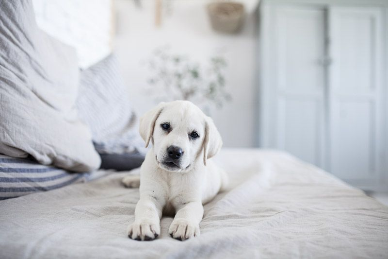 White lab puppies available now