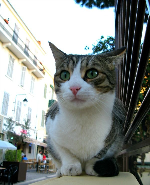 These cats of Cannes turn more heads than the movie stars during the Cannes Film Festival. Meet the cats of the café restaurant Los Farolés. Story and 14 photos: http://www.traveling-cats.com/2016/05/cats-from-cannes-france.html