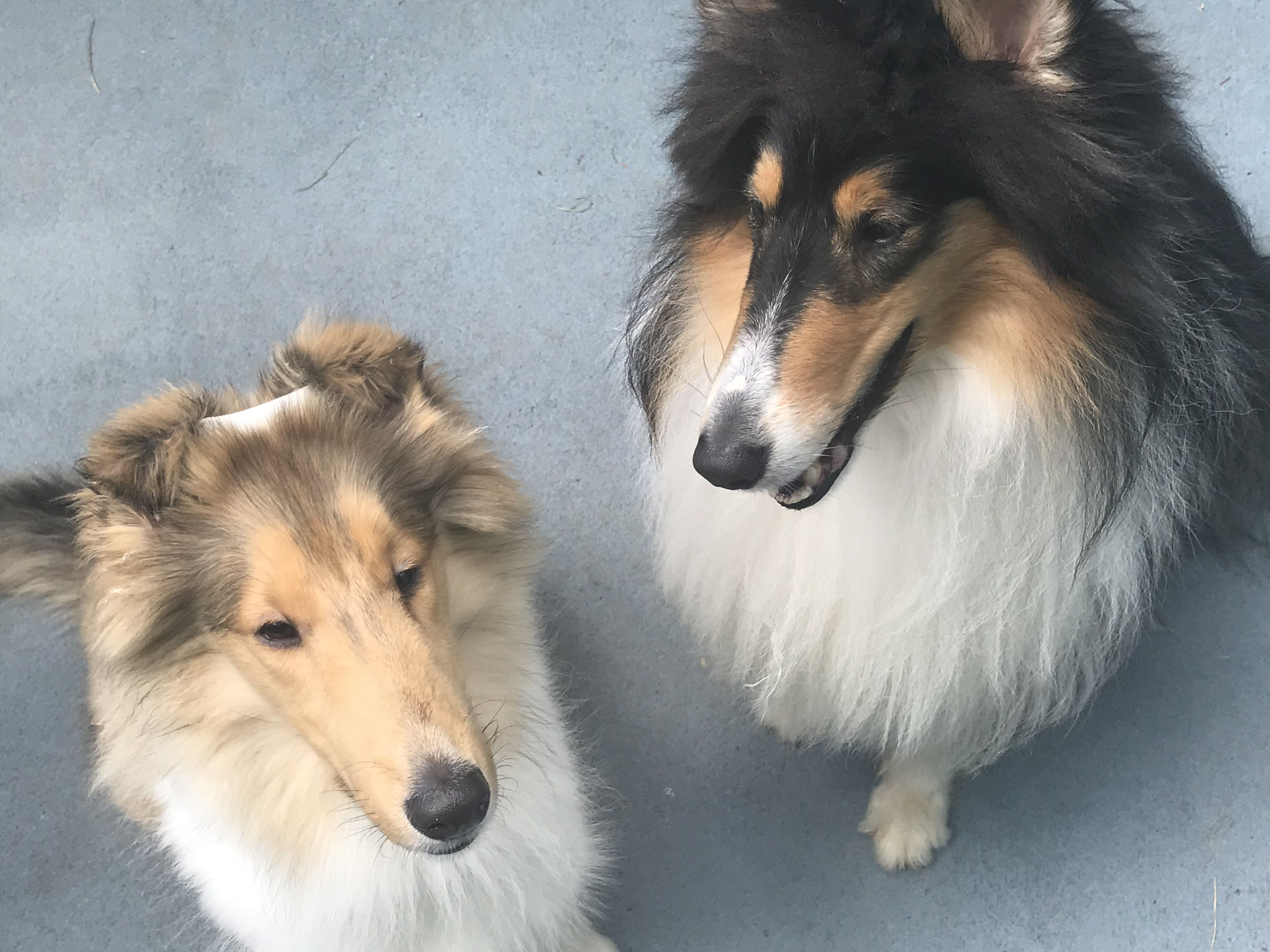Shuri Is On The Left Morgan Is On The Right Rough Collie