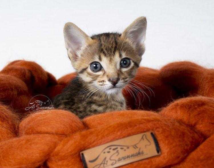 A1savannahs F6 Sbt Creed In His Cozy Cat Bed Cat Has Fleas Cat