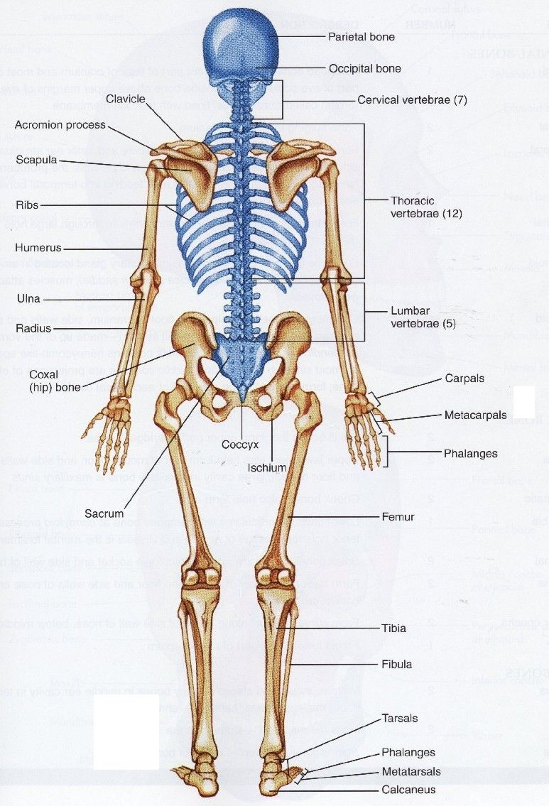 hight resolution of human skeleton back