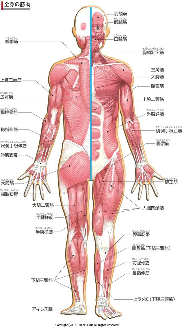 人体図筋肉 レディースファッション 人体 図