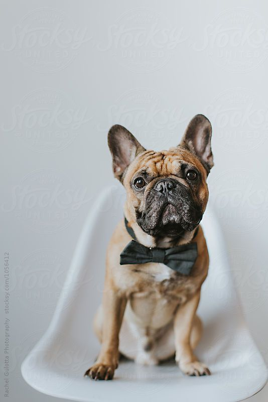 Dapper French Bulldog Puppy In A Bowtie In Front Of A White