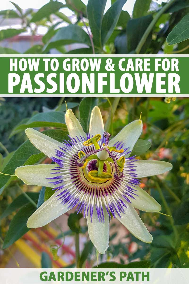 Pin On Passionflower And Care