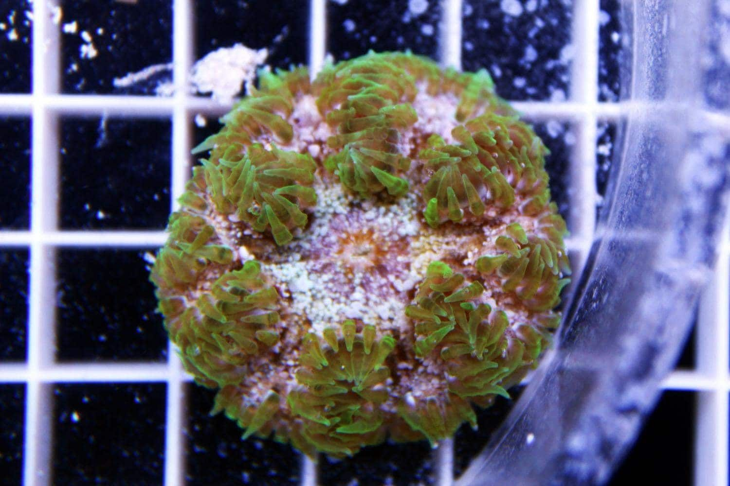 22 99 Rock Flower Anemone Green Epicystis Crucifer Care Minimum Tank Size 20 Gallons Care Level Intermediate Temperament Aggressive With Images Anemone Flowers Green