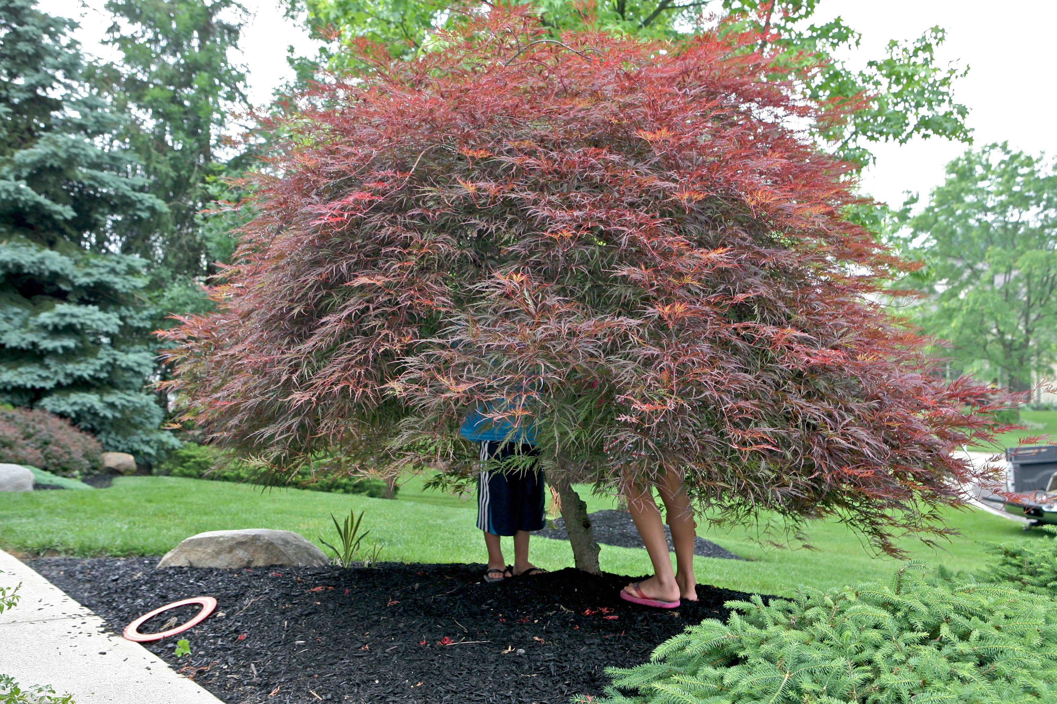 How to care for a fern leaf japanese maple - Japanese Maple Tree Under The Japanese Maple Tree