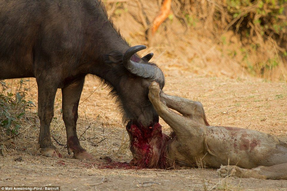 Final Attack The Lion Sinks His Teeth Into The Buffalos Mouth - Photographer captures angry lion before attack
