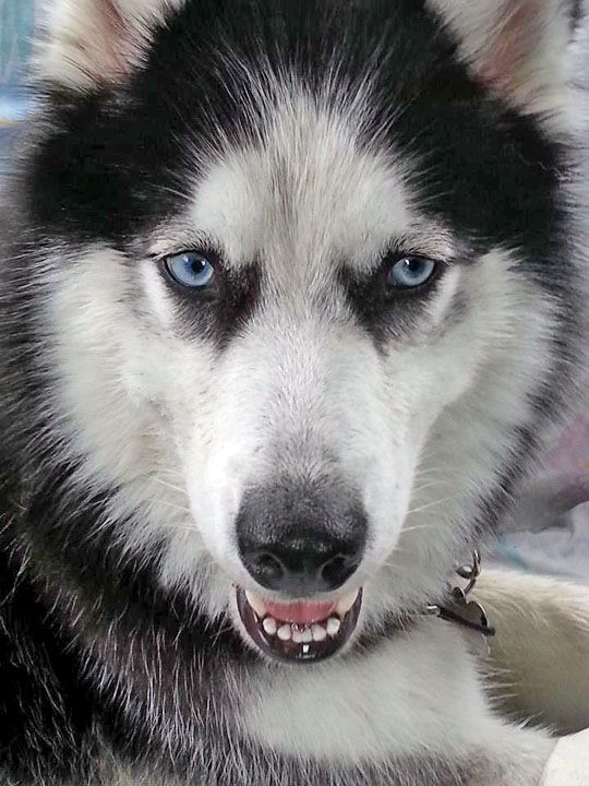 The Adoptions Department At Siberian Husky Rescue Of Florida Will