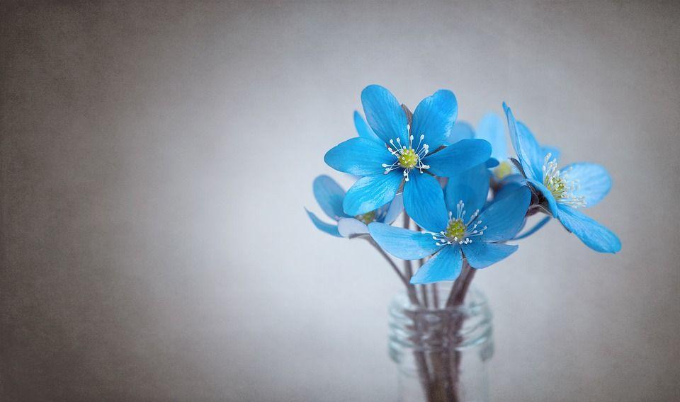 Hepatica Blue Flower Blue Flower Flowers Tender Flower Images Blue Flowers Good Morning Flowers