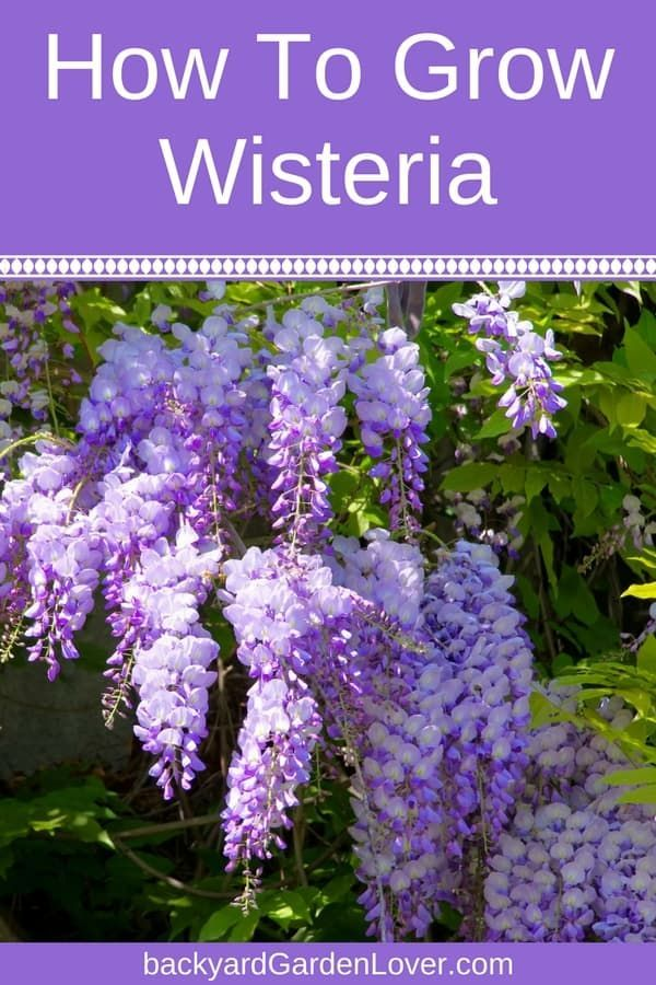 Photo of How To Grow Wisteria Without Overtaking Your Yard