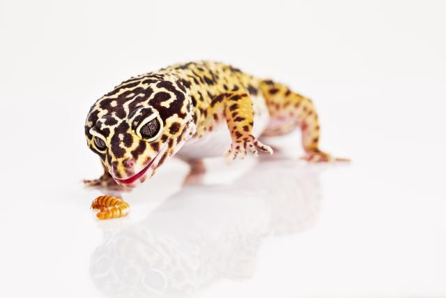 Does Your Reptile Have Worms Cute Reptiles Reptiles Reptiles Pet