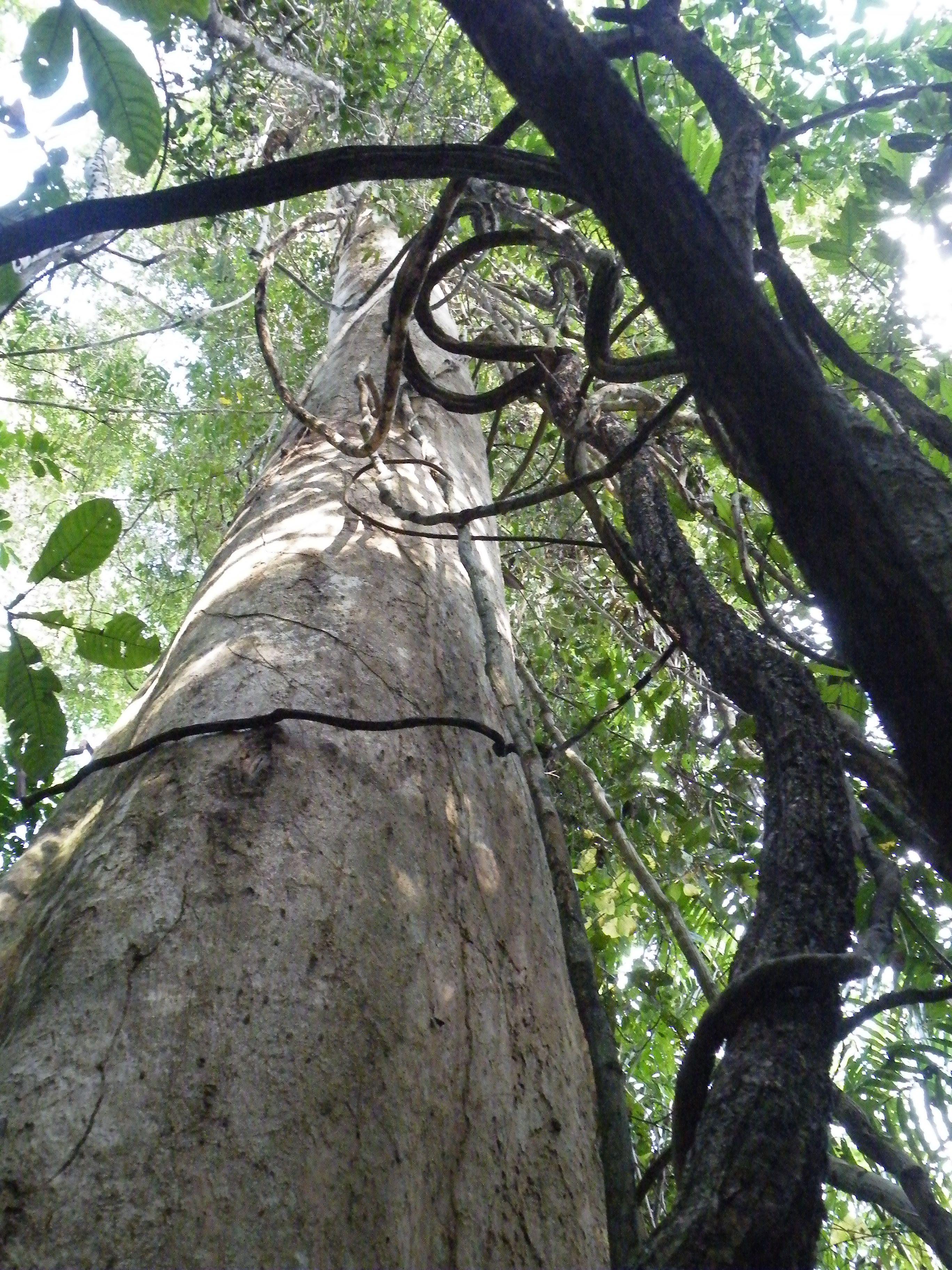 Woudreus in Taman Negara, Maleisie (foto: Dini Reijers)
