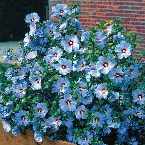 Shrubs Hedges Blue Bird Hardy Hibiscus Rose Of Sharon Tree Rose Of Sharon Hardy Hibiscus