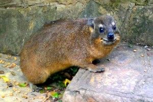 This hyrax is smiling because she has the BEST human pals - read the article.