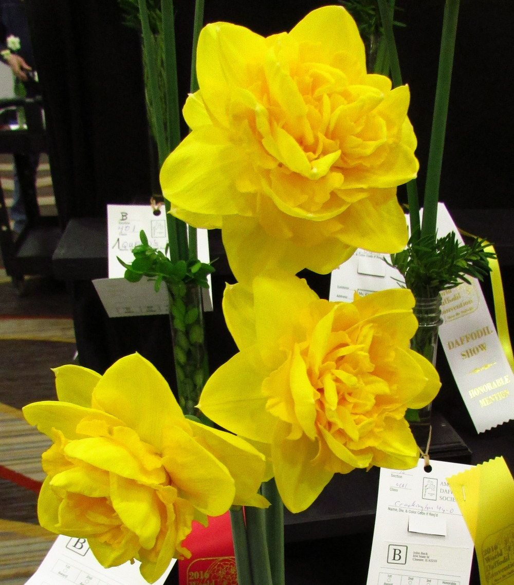 Double Daffodil Heamoor Bulbs Pinterest Daffodils And Plants