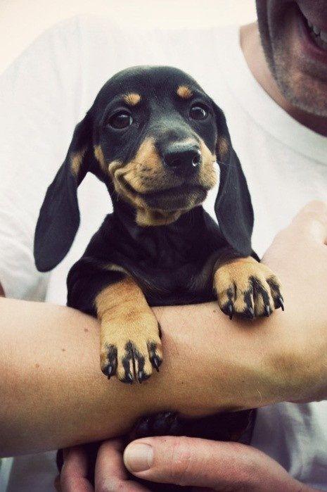Happy Dachshund puppy