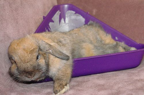 Reward Your Rabbit With Treats And Praise When They Correctly Use Their Litter Tray And Repeat This Process To Ensure Your Rabbit Of Its Rabbit House Rabbit Pet Rabbit