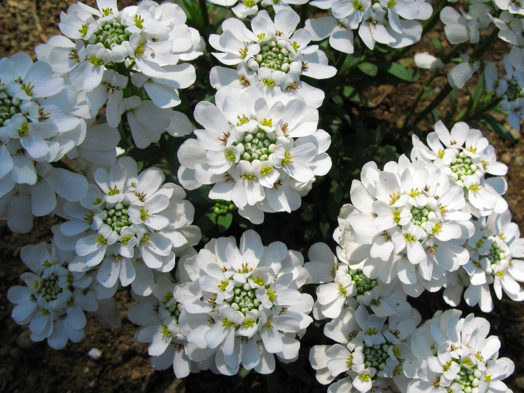 Growing Candytuft The Candytuft Flower In Your Garden Landscaping With Rocks Flowers Plants