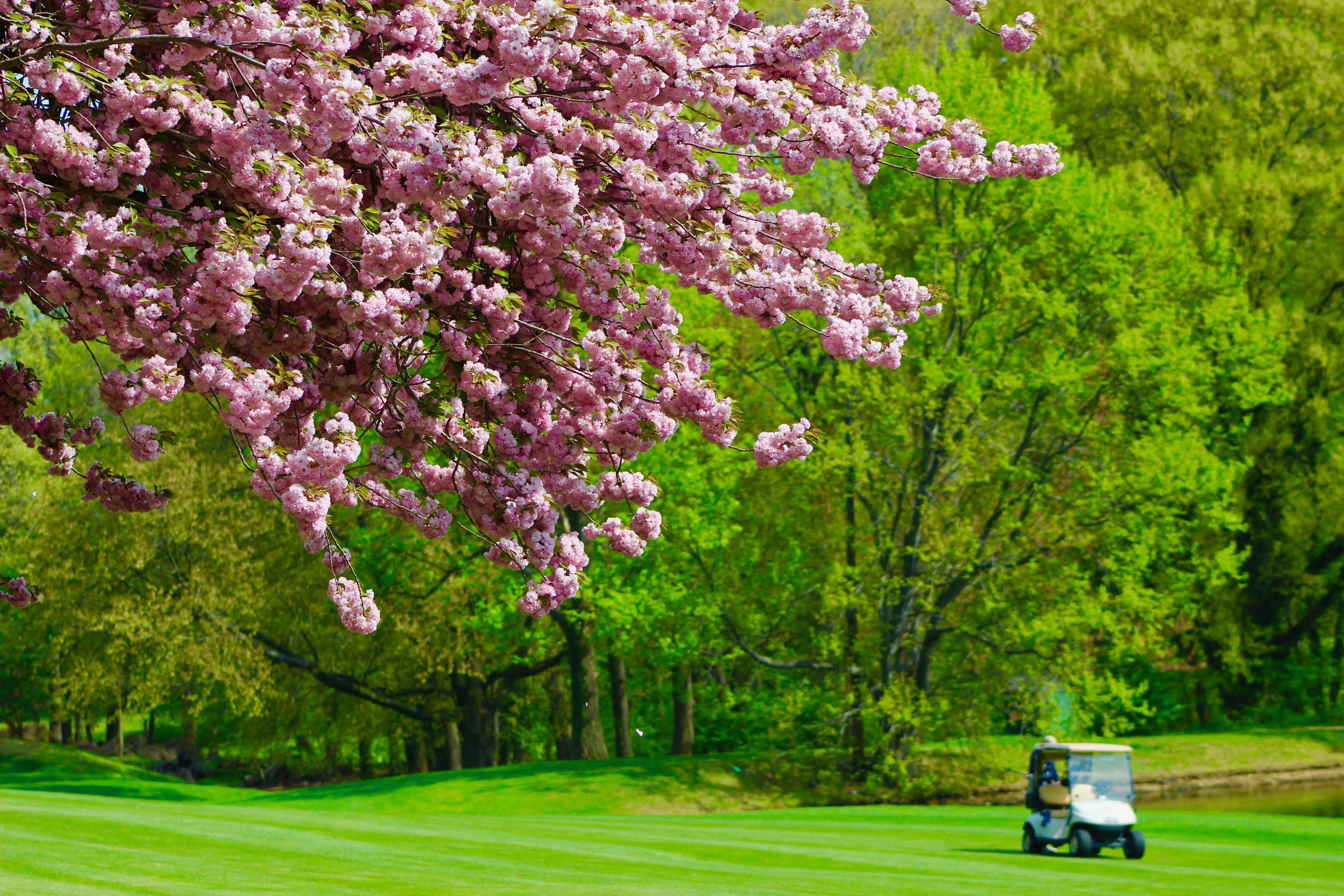 Summer Golf Blossom Cherry Blossom Summer Golf