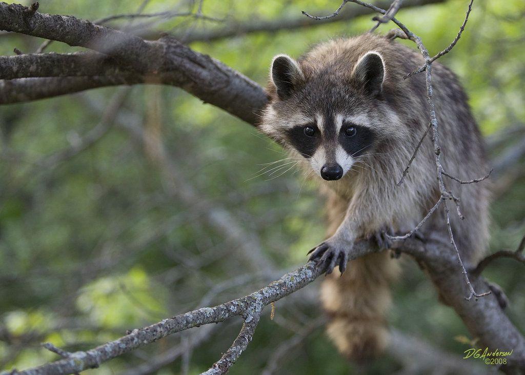 Raccoons - Taciane Freiria