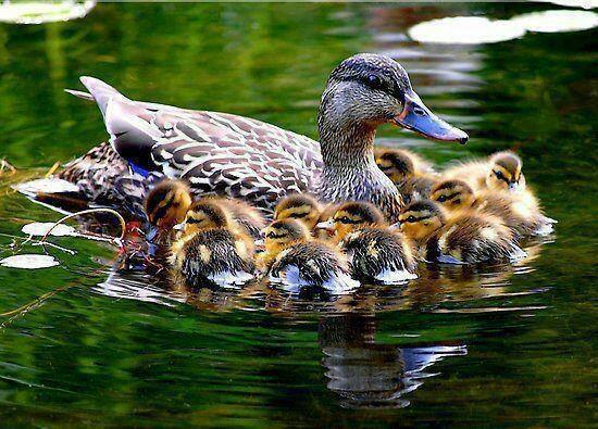 Mother Duck & Her Ducklings - Source: https://www.facebook.com/photo.php?fbid=463986800321706=a.342434892476898.89335.338077742912613=1