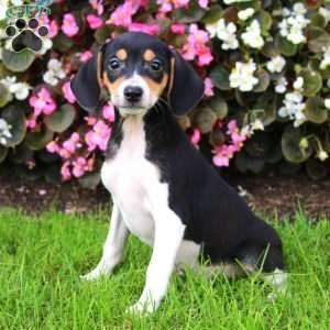 Beagle Mix Puppies For Sale Beagle Mix Breed Info Amazing K9
