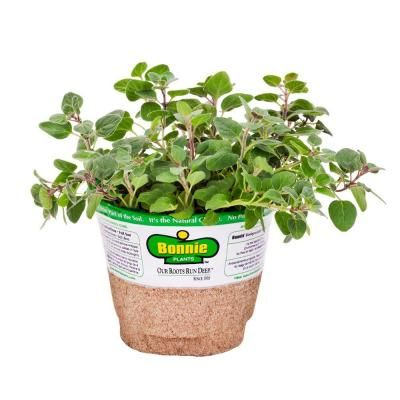 Bonnie Plants 4 In Greek Oregano 158 The Home Depot
