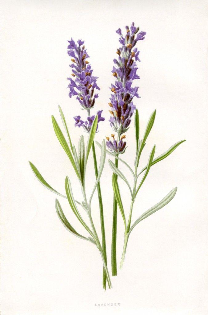 50 Favorite Free Vintage Flower Images Printables Levandule