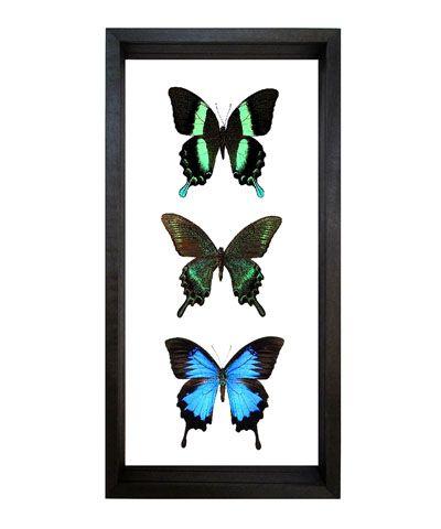 Papilio Blumei, Maacki, and Ulysses Butterflies