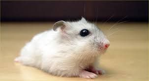 Such A Cute Hamster Winter White Hamster Hamsters As Pets Hamster Breeds