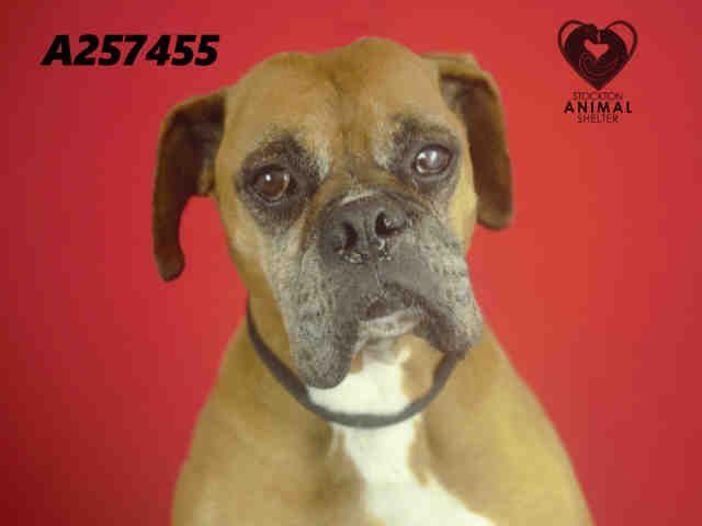 Boxer Dog For Adoption In Stockton Ca Adn 642734 On Puppyfinder