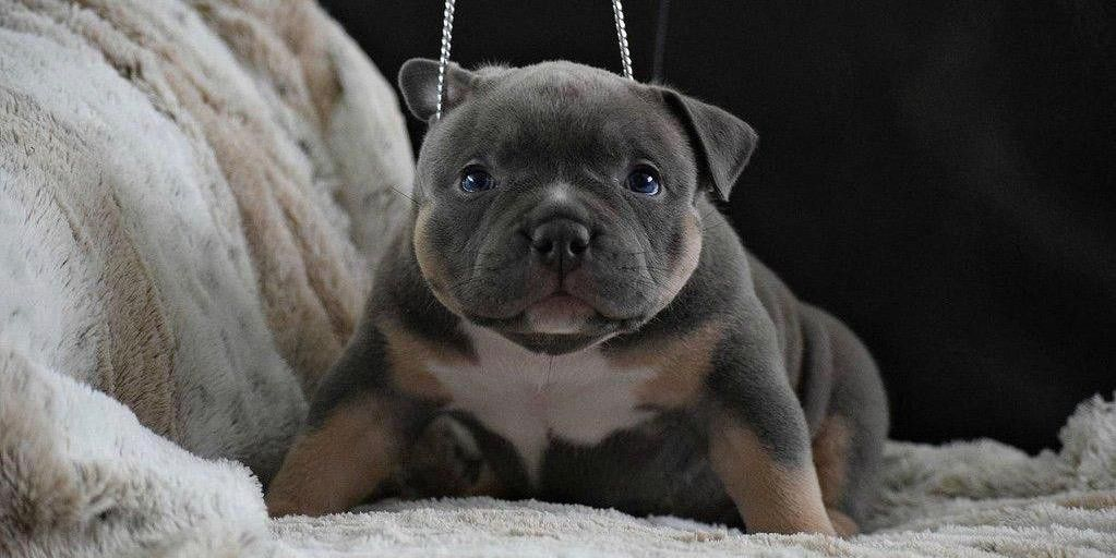 Frequently Asked Questions Buying An American Bully Puppy Extreme Build Pocket Bully S American Bully Pocket Bully Bullying