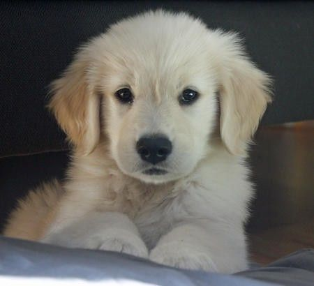 Nothing Is Cuter Than A Golden Retriever Puppy Period Betsykunz