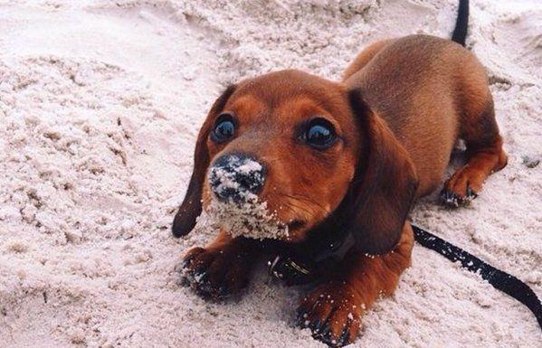 Twitter Random Dogs Cute Animals Dachshund Puppies