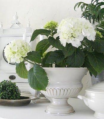 White Hydrangeas.../