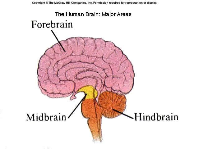 Dorsolateral prefrontal cortex google search school study 8 biological foundations brain divisions their functions flashcards from ana h on studyblue ccuart Images
