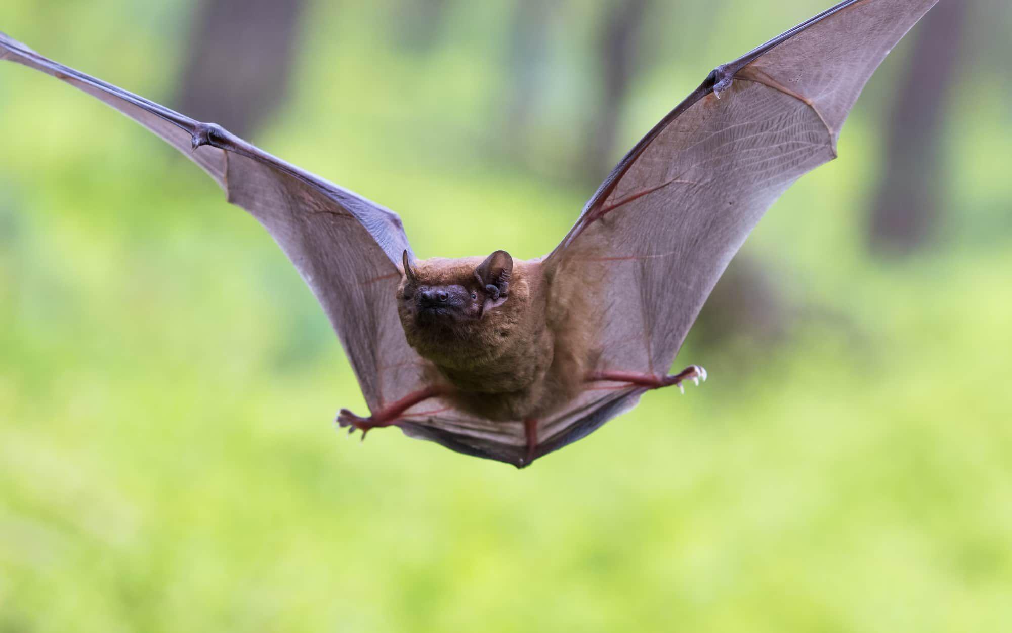 When Do Bats Hibernate Bat species, Bat, Hibernation