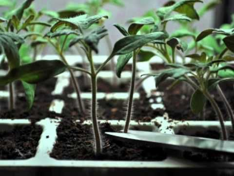 17 Best Images About Tomato Seedlings On Pinterest | Plants