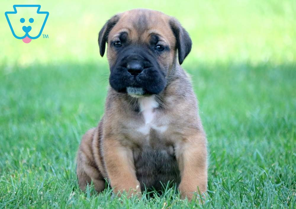 Shane Cane Corso Puppies Cane Corso Puppies For Sale