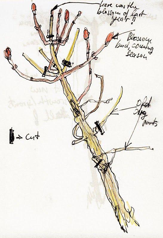 Illustrated Diagram Showing How To Prune Hydrangeas Garden
