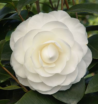 Camellias monrovia nuccios gem camellia favorite flowers nuccios gem camellias sparkling white formal double blooms contrast well with the glossy dark green foliage mightylinksfo